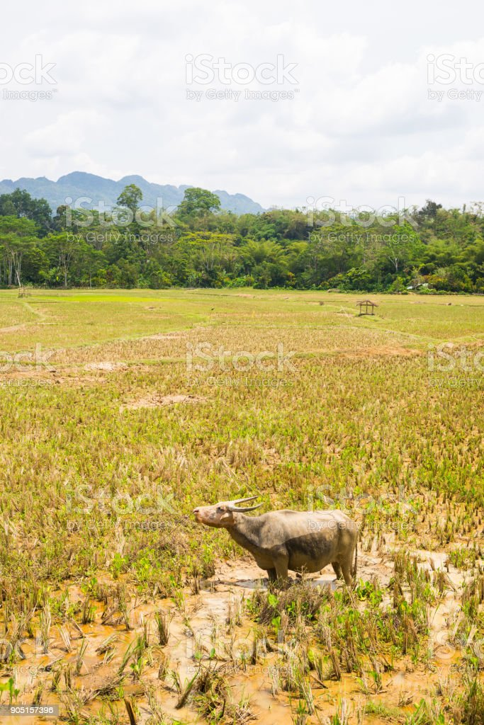 Stunning landscape of water filled rice fields and scenic cloudscape in Tana Toraja, South Sulawesi, Indonesia. Wide angle view, toned image, old retro look. stock photo