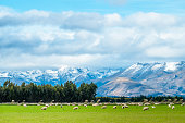 istock A stunning landscape scene of the agriculture in a rural area in New Zealand with a flock of sheep on a green grassland in the cloudy day. 964782628