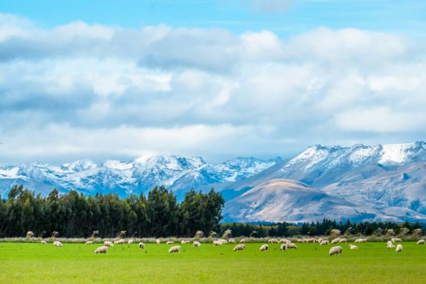 Eine atemberaubende Landschaft-Szene der Landwirtschaft in einer ländlichen Gegend in Neuseeland mit einer Schafherde auf eine grüne Wiese in den bewölkten Tag. – Foto