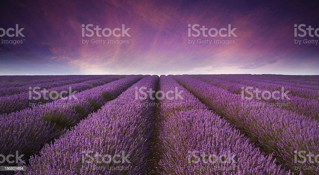 Stunning lavender field landscape Summer sunset stock photo
