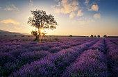 lavender fields on sunrise in Bulgaria.