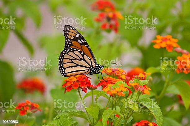 Stunning monarch butterfly on a flower picture id90820890?b=1&k=6&m=90820890&s=612x612&h=vrl ncwopyijjsxwfxa6l9ggry pptckylmrgd xsyq=