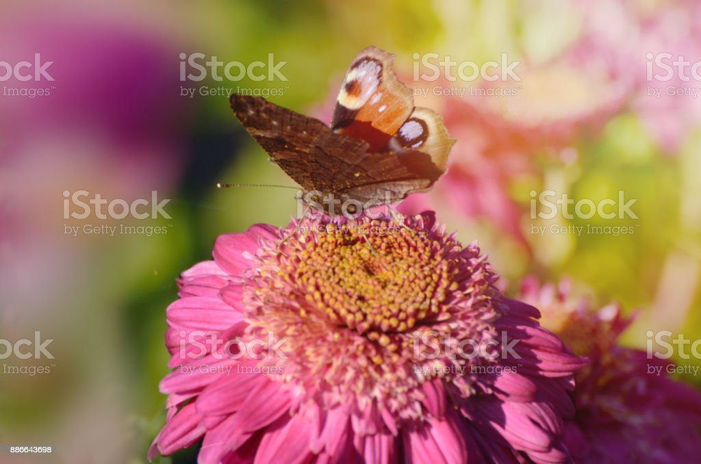 A stunning Peacock Butterfly, Aglais io, on chrysanthemum flower in a morning sunlight. stock photo