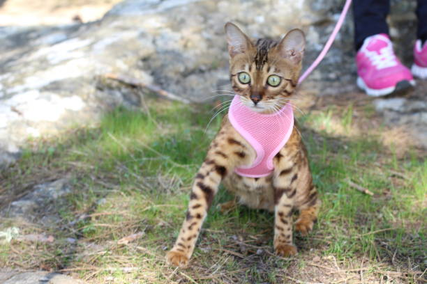stunning pedigreed bengal cat outdoors - cat leash stock photos and pictures
