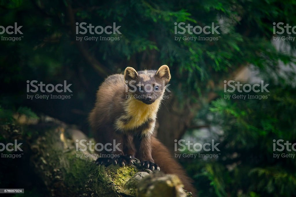 Stunning pine martin martes martes on branch in tree – Foto