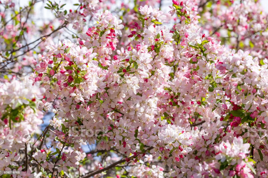 Stunning Pink Flowers Of A Crabapple Tree Herald The Season Of