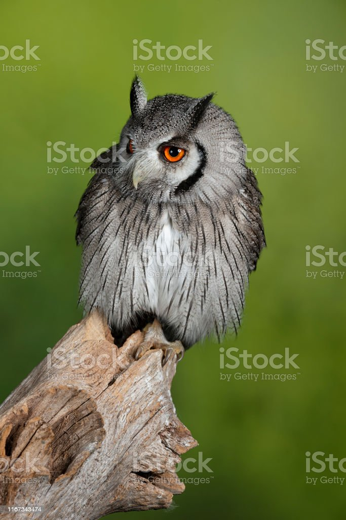 Stunning Portrait Of Southern White Faced Owl Ptilopsis Granti In Studio Setting With Green Nature Background Stock Photo Download Image Now Istock