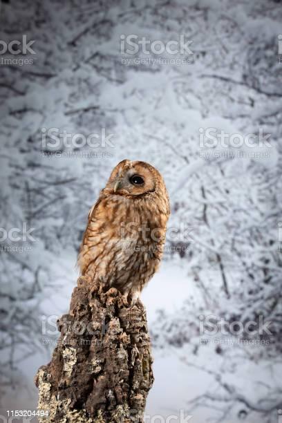 Stunning portrait of tawny owl strix aluco on winter snow forest picture id1153204494?b=1&k=6&m=1153204494&s=612x612&h=6fknew0fol2glfoadzde2prcbfsp1dlxslj9vzqj29w=