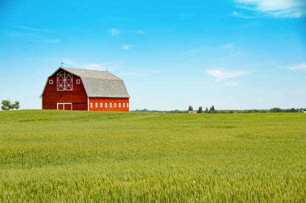 Stunning red barn and summer wheat crop stock photo