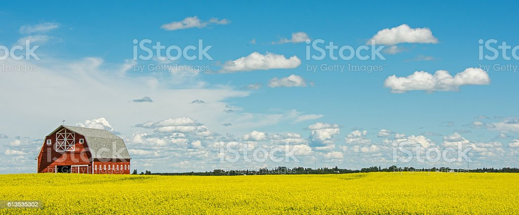 Stunning red barn on edge of yellow blooming canola field stock photo