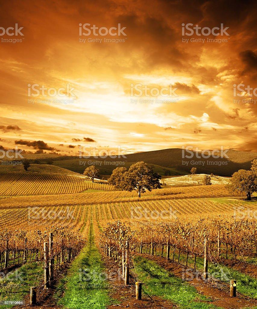 Stunning Sunset Vineyard stock photo