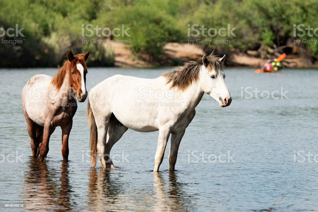 Stunning  White and Roan Wild Horses In River With Colerful Kayakers In The Background royalty-free stock photo