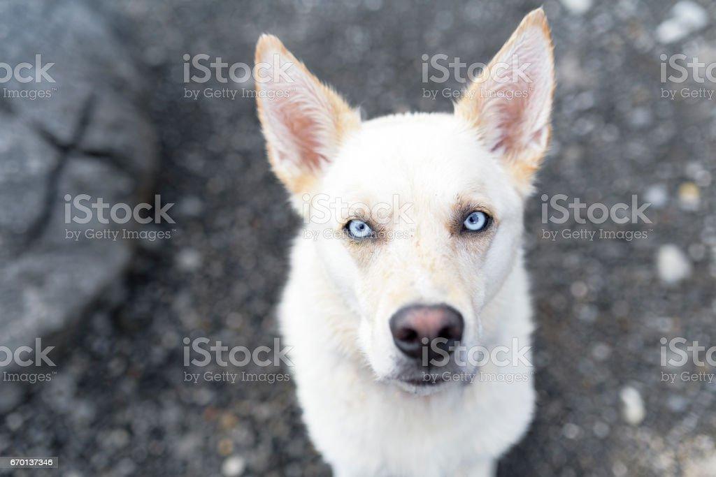 Stunning white dog looks into camera with piercing blue eyes stock photo