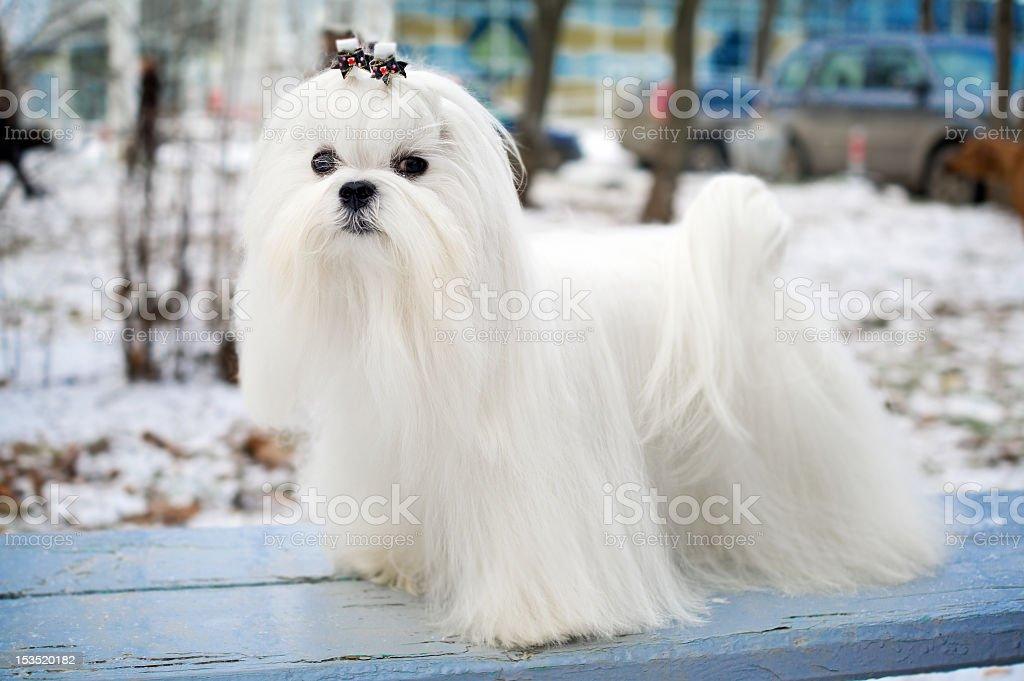 A stunning white Maltese canine if royalty-free stock photo