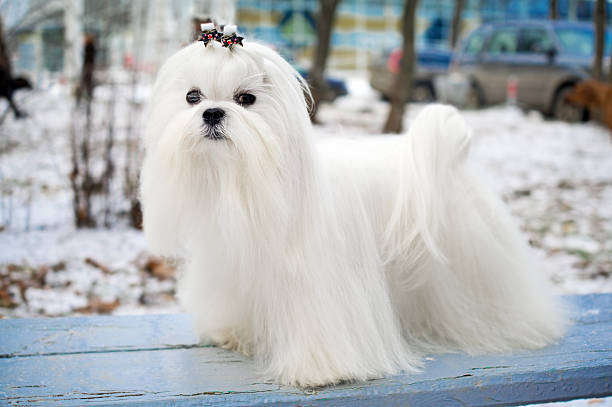 A stunning white Maltese canine if stock photo