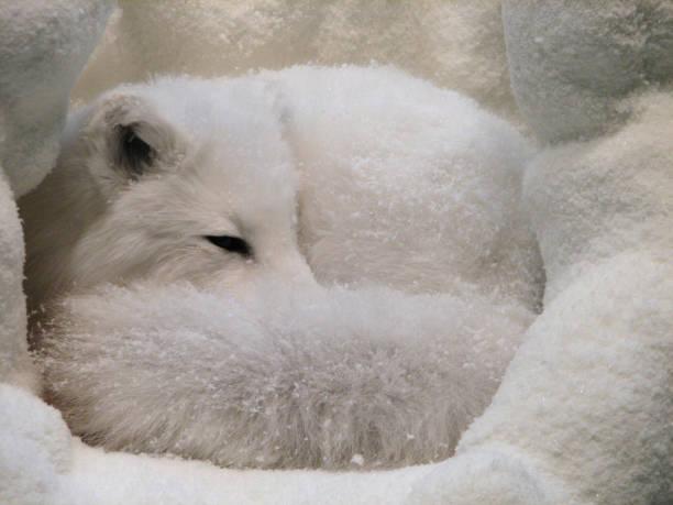 stunning wild fox - raposa ártica imagens e fotografias de stock