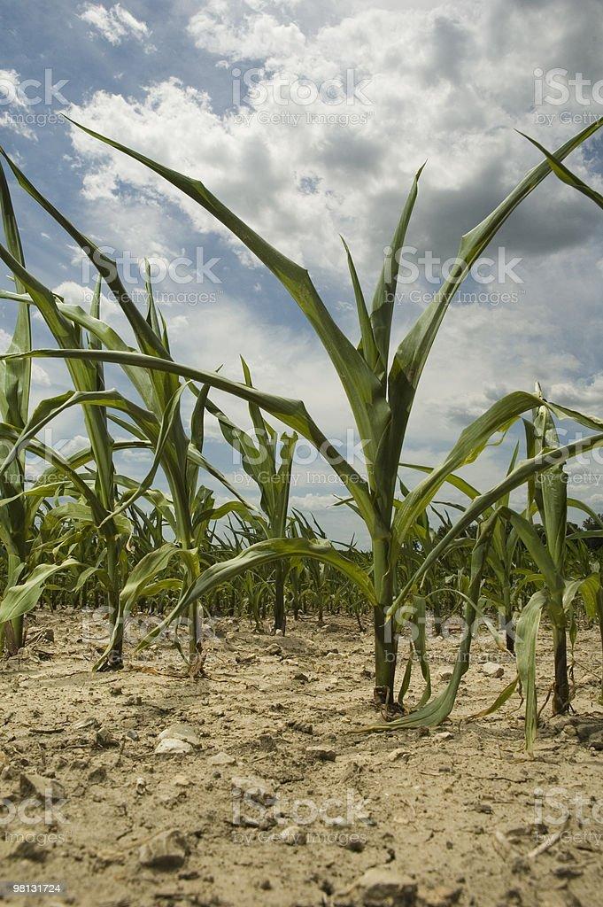 Stunted corn royalty-free stock photo