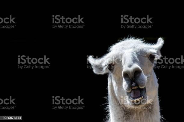 Stupid looking animal goofy llama funny meme image with copyspace picture id1020573744?b=1&k=6&m=1020573744&s=612x612&h=k omdi47ydz9i63t7a ccansbxdq qwxlxjfqhc jv4=