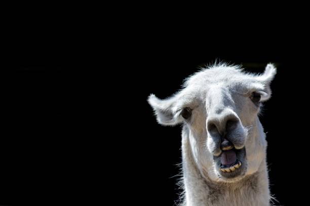 dumm aussehenden tier. goofy lama. lustige meme bild mit kopie-raum. - lama kamelartige stock-fotos und bilder