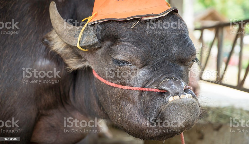 Stupid looking Buffalo stock photo