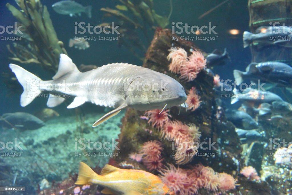 Sturgeon big-game fish stock photo