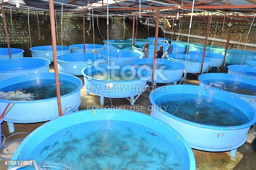 istock Sturgeon fish breeding farm in Tuyen Lam lake 479417458