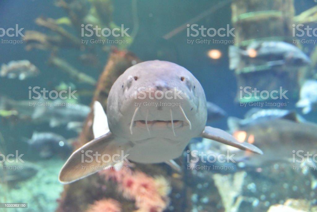 Sturgeon fish head stock photo
