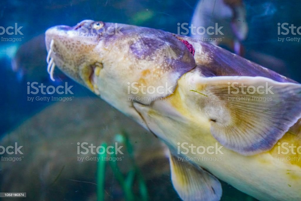 Sturgeon fish in an aquarium stock photo