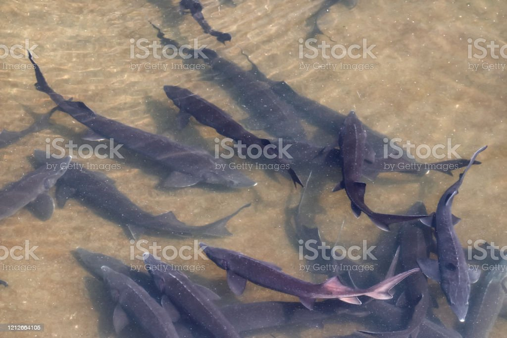 Sturgeon fish in the water - Royalty-free Adult Stock Photo