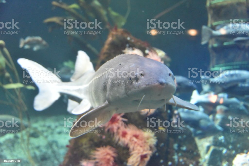 Sturgeon fish stock photo