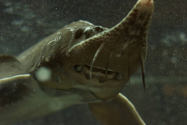 Sturgeons fish in water tank stock photo