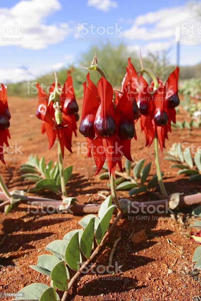 Sturt Desert Pea. Northern Territory Australia royalty-free stock photo