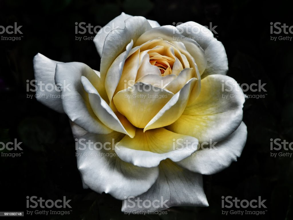 Stylised Perfect White Rose With Glowing Yellow Centre With Dramatic