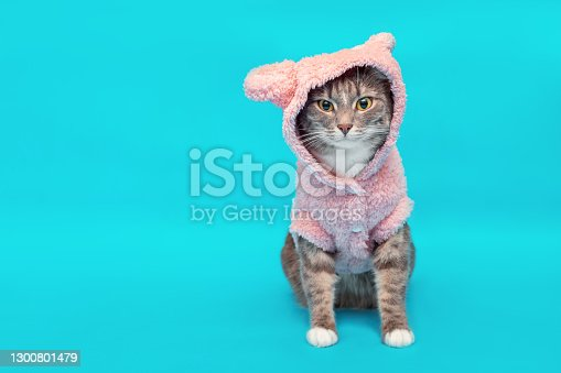 Stylish and fashionable cat in a knitted warm fleece hoodie with ears. Concept of cute winter clothing for Pets