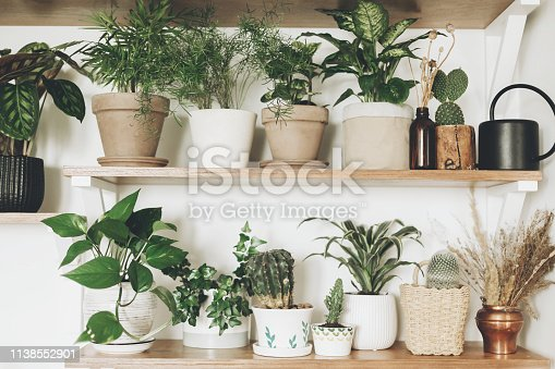 istock Stylish green plants and black watering can on  wooden shelves. Modern hipster room decor. Cactus, pothos, asparagus, calathea, peperomia,dieffenbachia, dracaena, ivy, palm in pots on shelf 1138552901