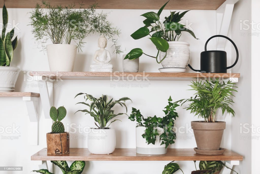 Stylish green plants and black watering can on wooden shelves. Modern...