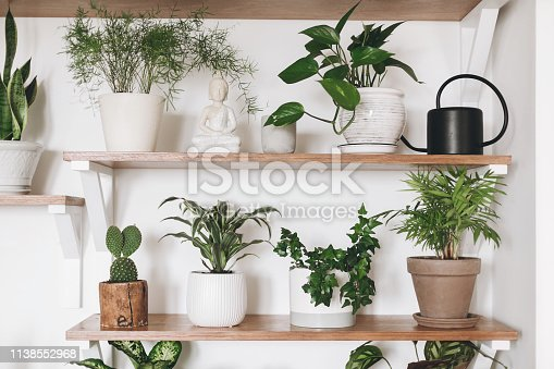 istock Stylish green plants and black watering can on wooden shelves. Modern hipster room decor. Cactus, asparagus , dracaena, epipremnum pothos, ivy, palm, sansevieria in pots on shelf. 1138552968