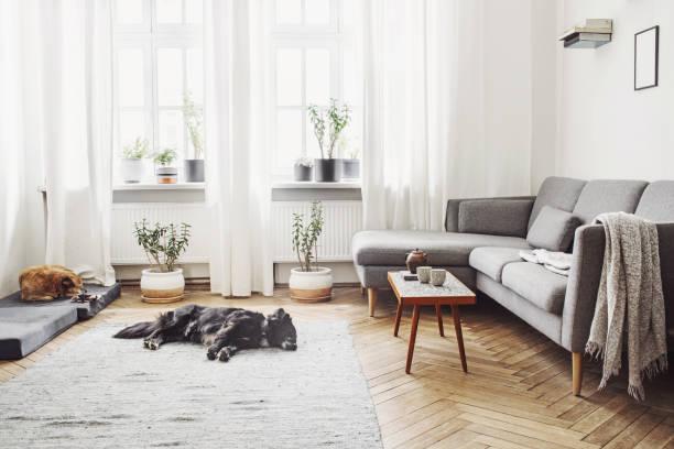 stilvolle einrichtung des wohnzimmers mit kleinen design-tisch und sofa. weiße wände, pflanzen auf der fensterbank. braune holzparkett. der hund schlafen auf dem teppich. - gardinen weiß stock-fotos und bilder