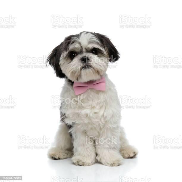 Stylish shih tzu with pink bowtie sits picture id1094025384?b=1&k=6&m=1094025384&s=612x612&h=zqpmm1ogqrmhsbmp0mrxite0utcbclqtign2evwrjn0=