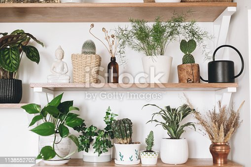 istock Stylish wooden shelves with green plants and black watering can. Modern hipster room decor. Cactus, epipremnum pothos, asparagus, calathea, peperomia,dracaena, palm in pots on shelf 1138552702