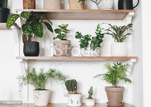 istock Stylish wooden shelves with green plants and black watering can. Modern hipster room decor. Cactus, asparagus, pothos, calathea,dracaena,ivy, palm, in pots on shelf 1138552747