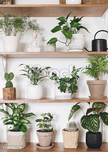 istock Stylish wooden shelves with green plants and black watering can. Modern hipster room decor. Cactus, pothos, asparagus, calathea, peperomia,dieffenbachia, dracaena, ivy, palm in pots on shelf 1138552775
