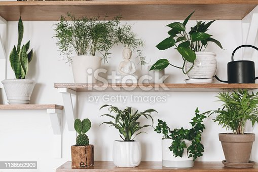 istock Stylish wooden shelves with green plants and black watering can. Modern hipster room decor. Cactus, asparagus , dracaena, epipremnum pothos, ivy, palm, sansevieria in pots on shelf. 1138552909