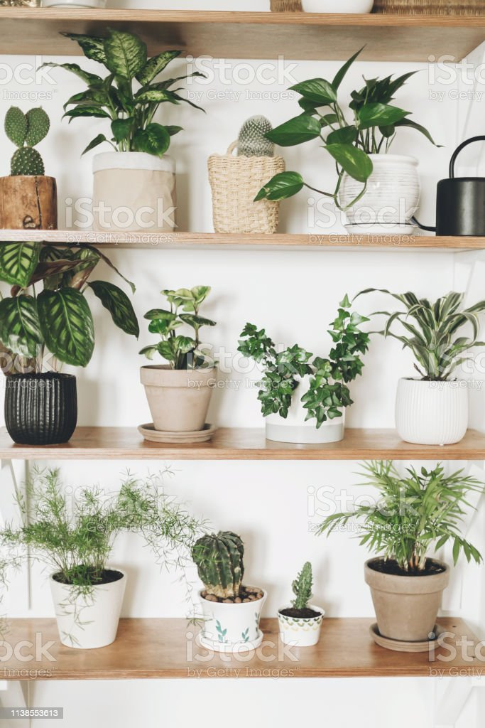 Stylish wooden shelves with green plants and black watering can....