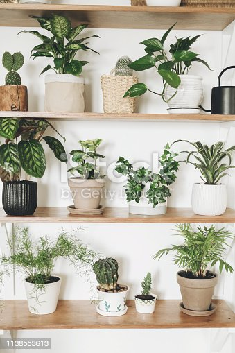 istock Stylish wooden shelves with green plants and black watering can. Modern hipster room decor. Cactus, pothos, asparagus, calathea, peperomia,dieffenbachia, dracaena, ivy, palm in pots on shelf 1138553613