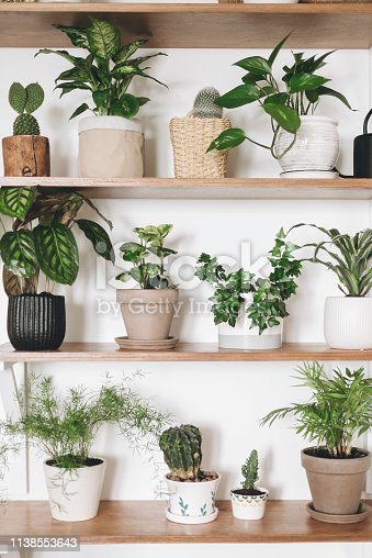 istock Stylish wooden shelves with green plants and black watering can. Modern hipster room decor. Cactus, pothos, asparagus, calathea, peperomia,dieffenbachia, dracaena, ivy, palm in pots on shelf 1138553643
