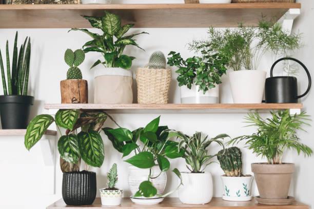 stijlvolle houten planken met groene planten en zwarte gieter kan. moderne kamerinrichting. cactus, dieffenbachia, asperges, epipremnum, calathea, dracaena, klimop, palm, sansevieria in potten op plank - kamerplant stockfoto's en -beelden
