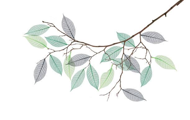 stylized branch with skeleton of leaves - amoreiras imagens e fotografias de stock