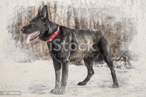 Stylized by watercolor sketch painting on a textured paper of black belgian shepherd Groenendael full lenght portrait in the winter forest