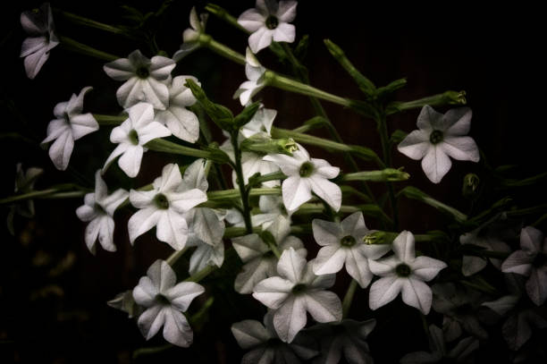 stylized nicotiana alata blooming tobacco plant in the dark stock photo